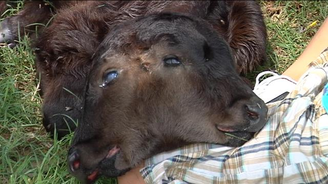 This two headed calf, born in Oklahoma, is what ours looked like.